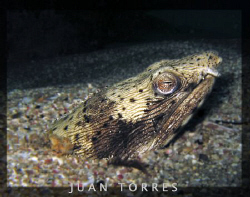Spotted snake eel.  Almost got too close to this fella... by Juan Torres 